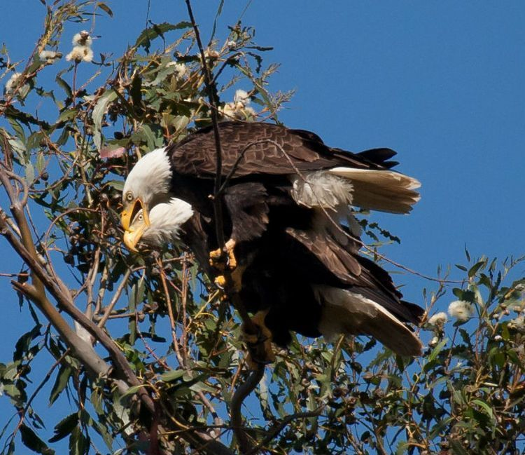 Bald Eagle perching next to mate-close up