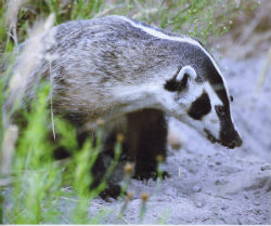 Young badger - by Andy LaCasse