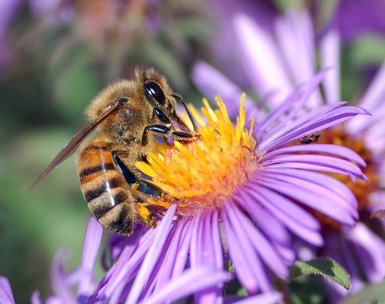 honey-bee-pollination