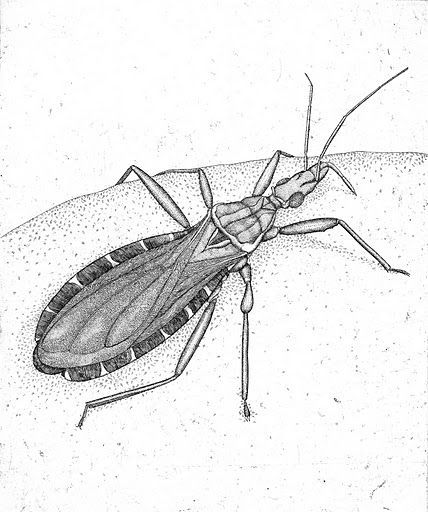 Assassin_Bug_1