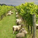 Sheep-Grazing-in-vineyard-150x150