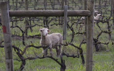 sheep_large