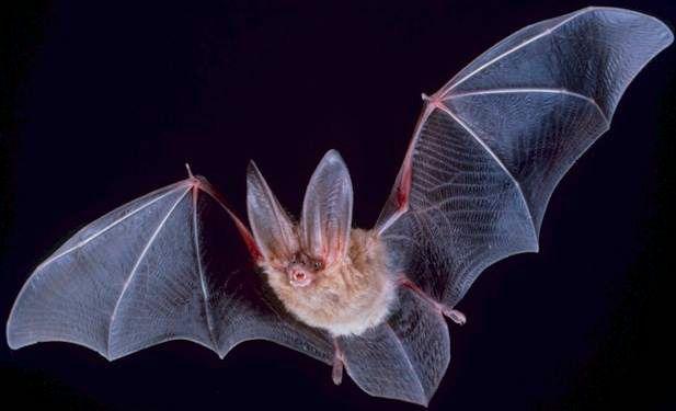 BatFlight.jpg - 22.67 kB