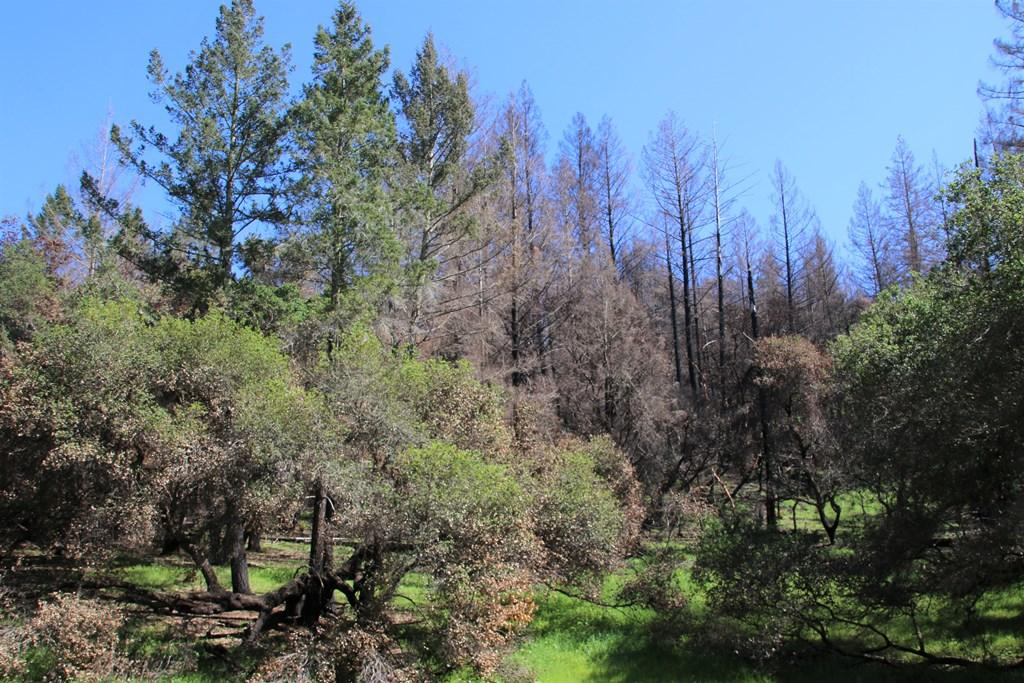 Clint McKay says that the conifers were crowding out oak trees and other plants at Pepperwood sm