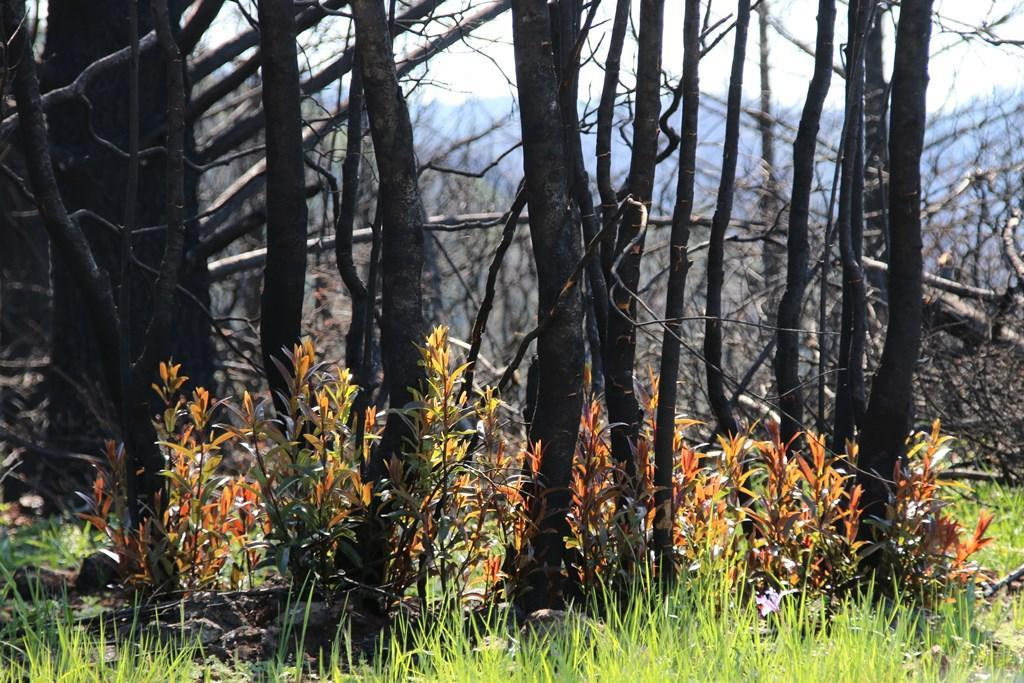 From fire comes new plant life at Pepperwood sm