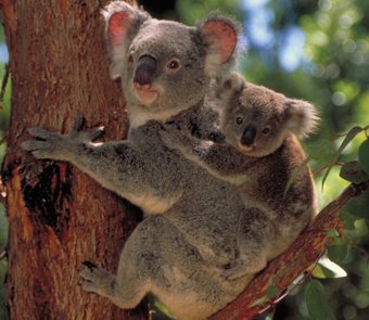 Koalas are Awesome