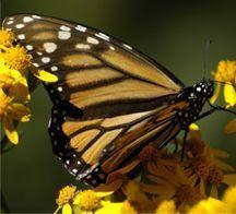 butterfly.jpg - 10.67 kB