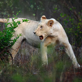 lion2.jpg - 46.62 kB