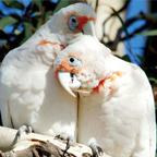 parrots.jpg - 45.38 kB